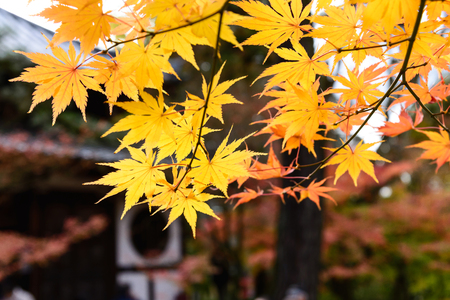 momiji: the beautiful autumn color of Japan yellow and green maple leaves in autumn season, Japan Stock Photo
