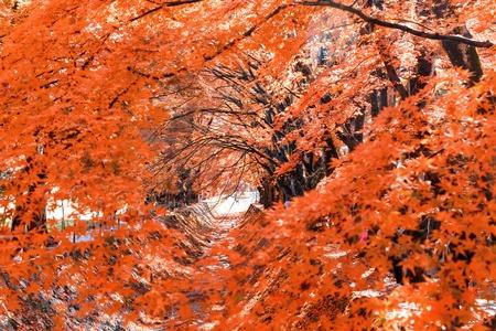 momiji: the beautiful autumn color of Japan maple  leaves in Maple corridor (Momiji Kairo) at autumn season,Kawaguchiko, Fujiyoshida, Yamanashi, Japan Stock Photo