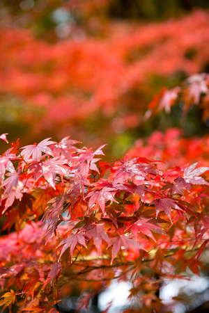 the beautiful autumn color of Japan red maple leaves with blured bokeh background in autumn season, Japan Stock Photo