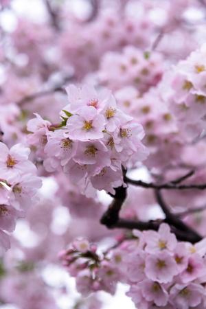 Japanese cherry Blossom (Sakura tree) spring season or hanabi season in japan, outdoor garden background Stock Photo
