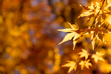 the beautiful autumn color of Japan yellow, green and red maple leaves with colorful blured bokeh background in autumn season, Japan Stock Photo