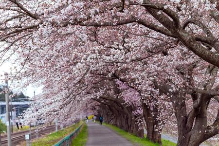 Sakura tunnel and walkway with japanese  cherry blossom blooming at Hitome Senbon beside Shiroishi Riverside. Miyagi, Japan Stock Photo