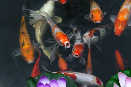 fish CARP fancy / koi in pond, japanese National animal Фото со стока