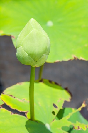Budding indian green lotus in basin photo