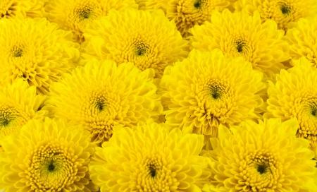Yellow chrysanthemums flower. photo