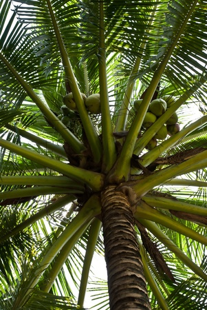 View on palm tree coconut. Stock Photo - 10684983