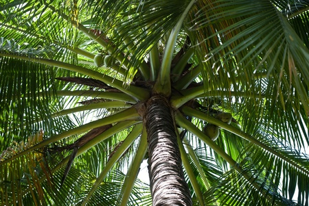 Coconuts growing on tropical palm tree. photo