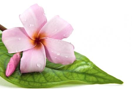 plumeria on a white background: Frangipani flower on green leaf Stock Photo