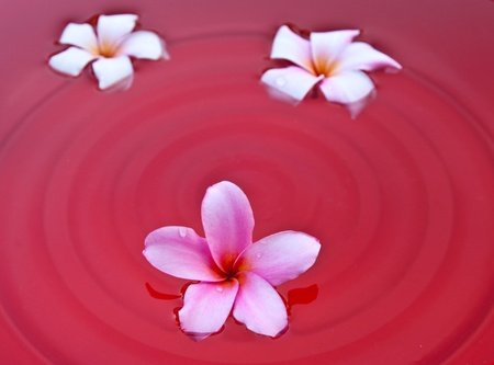 Frangipani flowers in the water photo