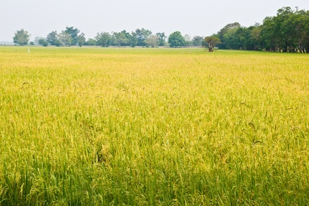 Rice field Stock Photo - 12672854