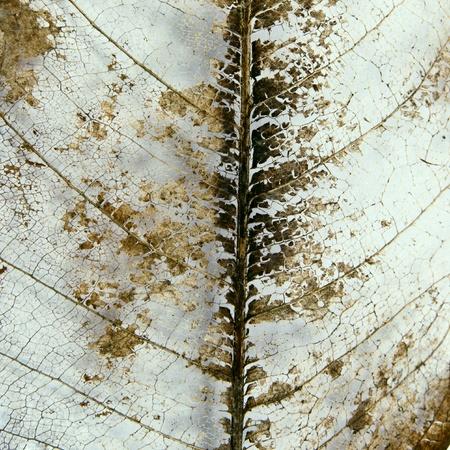 Skeleton leaf background Stock Photo