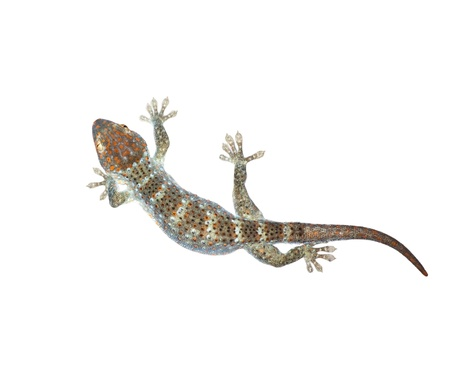 Gecko isolated on white background  photo
