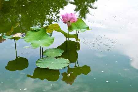 Pink water lilies in a pond  photo