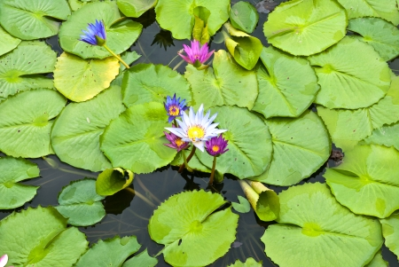 Lotus in a pond  photo
