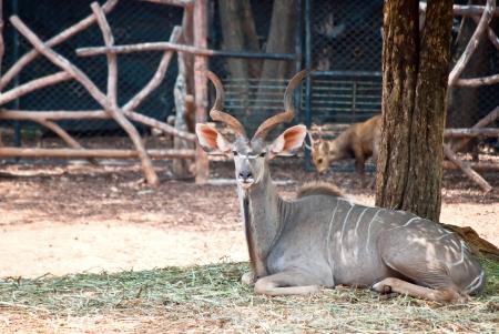 greater: Greater Kudu  Stock Photo