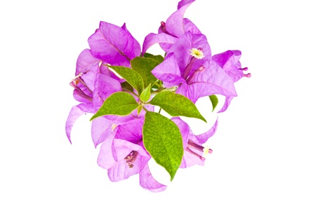 Paper flowers (Bougainvillea), the tropical flowers isolated on white