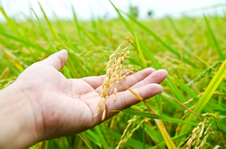 Hand with rice field  photo