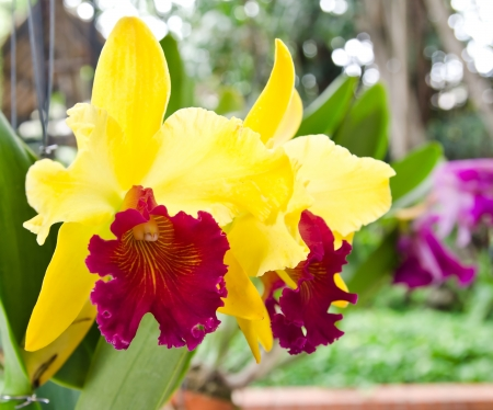 Cattleya red yellow orchid flower in bloom in spring  photo