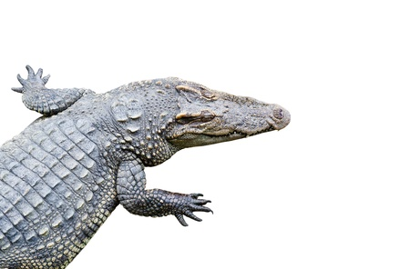 Crocodile isolated on white background with clipping path photo