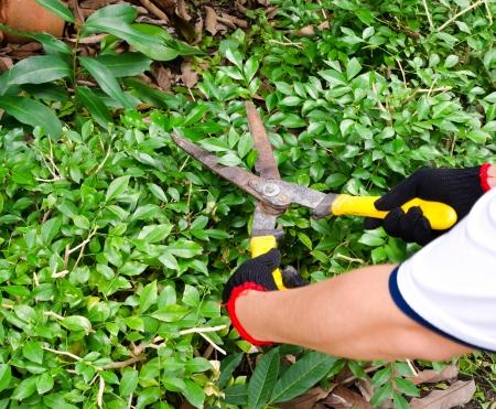 garden shears: Manos con tijeras de podar �rboles jard�n