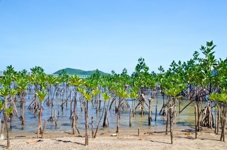 Young mangroves forest  photo