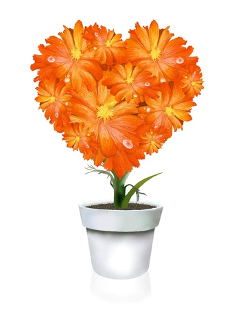 A Beautiful Heart Shape of Orange Gerbera Daisy in Flowerpot, on A White Background photo