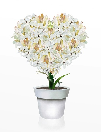 A Beautiful Heart Shape of White Tuberose Flowers in Flowerpot, on A White Background photo