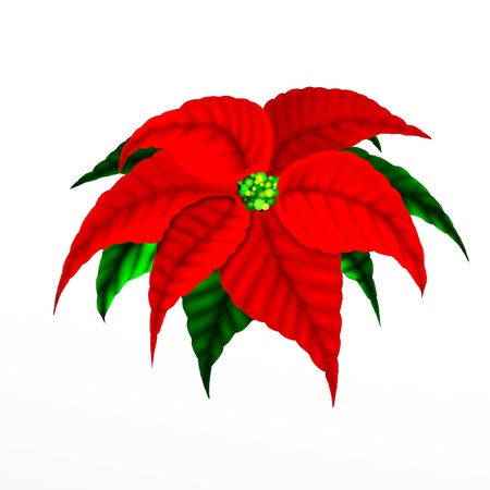 Christmas Poinsettia Flower photo
