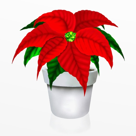 Christmas Poinsettia Flower in White Pot photo