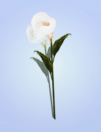 A Beautifully Perfect White Calla Lily Flower, on A Lovely Light Blue Background  Calla Lily Is a Favorites in Personalized Gifts for Many Occasions, Especially as A Valentine Day and Special Events   photo