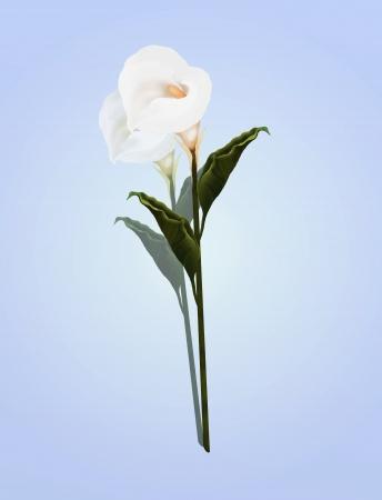 eventos especiales: Una bella Perfect White Calla Lily Flor, en una hermosa luz azul de fondo Calla Lily Is a mis favoritos en regalos personalizados para muchas ocasiones, sobre todo como D�a de San Valent�n y Eventos Especiales