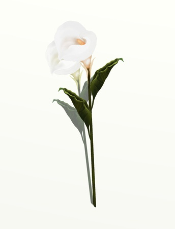 A Beautifully Perfect White Calla Lily Flower, Isolated on White Background  Calla Lily Very Popular, Especially as A Wedding Flower and Special Events  photo