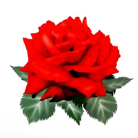 A Symbol of Love, Hand Drawing of A Beautiful Red Rose Close Up Isolated on White Background
