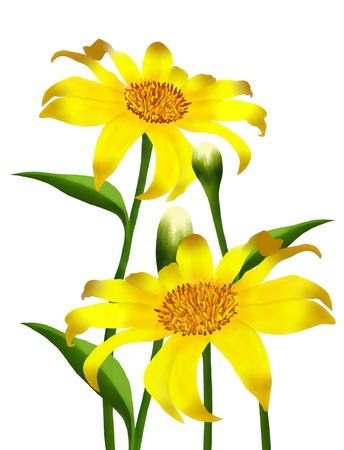 Hand Drawing, The Bright and Beautiful Yellow Colors of Mexican Sunflowers or Tithonia Rotundifolia Flowers Isolated on White Background photo