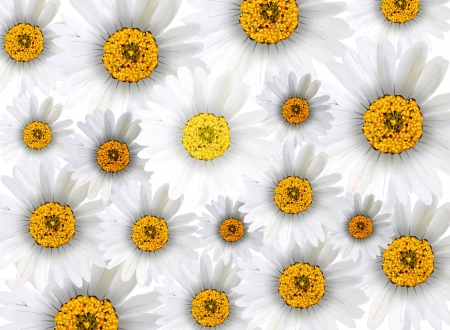 Bright and Beautiful Background of Chamomile Flowers or White Daisies  photo