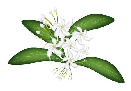 아름다운 꽃, 흰색 배경에 고립 된 녹색 잎에 사랑스러운 화이트 일반 치자 케이프 재스민 꽃의 그림 일러스트
