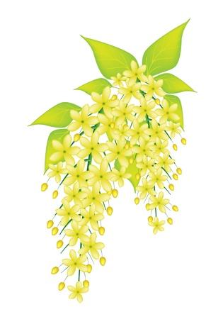 계수 나무 누관 또는 흰색 배경에 고립 황금 샤워 꽃의 아름다운 꽃, 그림 노란 색깔 일러스트