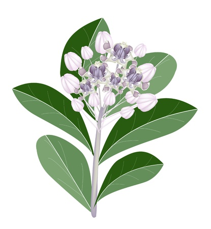 milkweed: Beautiful Flower, An Illustration Group of Fresh Calotropis Gigantea Flower or Crown Flower on Green Leaves Isolated on A White Background Illustration