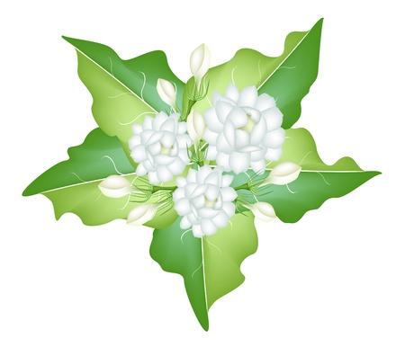 아름다운 꽃, 흰색 배경에 고립 된 녹색 잎에 신선한 화이트 재스민 꽃의 일러스트 그룹