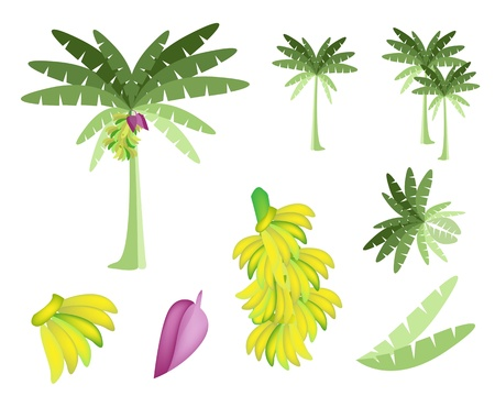 Ecological Concept, An Illustration Collection of Beautiful Tropical Banana Tree with Bananas and Banana Blossom