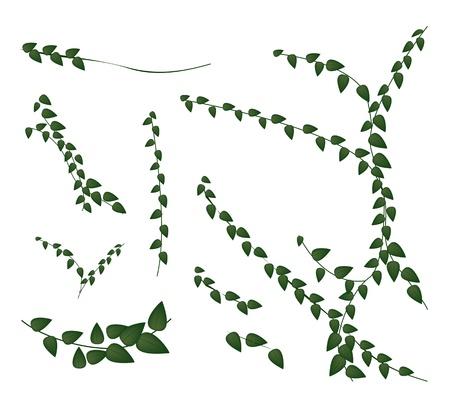 생태 개념, 무화과 나무속 Pumila 또는 흰색 배경에 고립 된 녹색 잎 기는 벽 식물의 다양한 스타일의 일러스트 집 일러스트