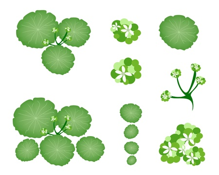 treetop: Ecological Concept, An Illustration Collection of Landscaping Tree Symbols or Isometric Asiatic Pennywort or Hydrocotyle Umbellata Plant for Garden Decoration