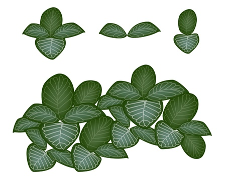 Ecological Concept, An Illustration Collection of Various Style of Green Leaves of Fittonia Verschaffeltii or Nerve Plant Isolated on White Background Illustration