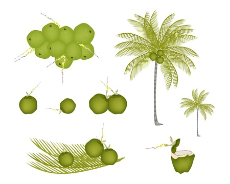 Ecological Concept, An Illustration Collection of Beautiful Fresh Coconuts with Tropical Palm Tree and Coconut Water Drink Vector