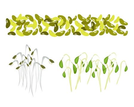 Une collection d'illustration de divers Style frais de haricot mungo et de germes de haricot mungo avec des feuilles vertes Illustration