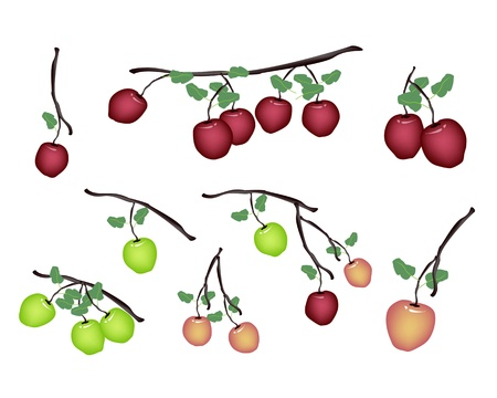 garden of eden: An Illustration Collection of Various Style Delicious Fresh Green Apple and Red Apple With Green Leaves Hanging on Tree Branch Illustration