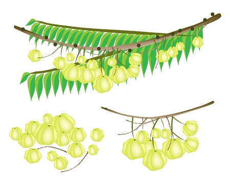 An Illustration Collection of Fresh Star Gooseberries With Stem and Green Leaves Hanging on Tree Branch Illustration
