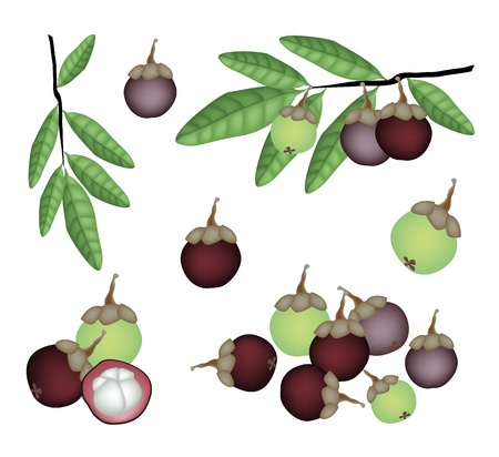 Fresh Fruits, An Illustration Collection of Fresh Ripe and Unripe Mangosteen with Green Leaves and Tree Branch