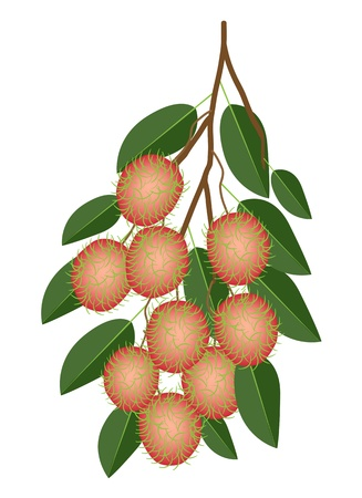 Fresh Fruits, An Illustration of Fresh Red Rambutan and Green Leaves Hanging on Tree Bunch Illustration