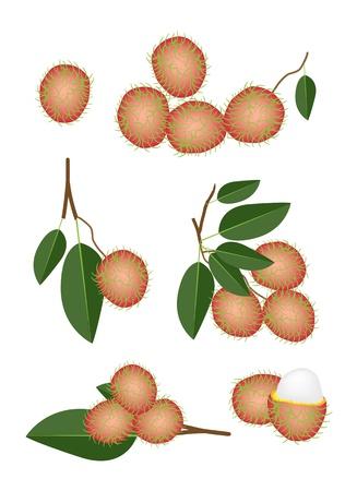 rambutan: Fresh Fruits, An Illustration Collection of Fresh Red Rambutan and Green Leaves with Rambutan Bunch